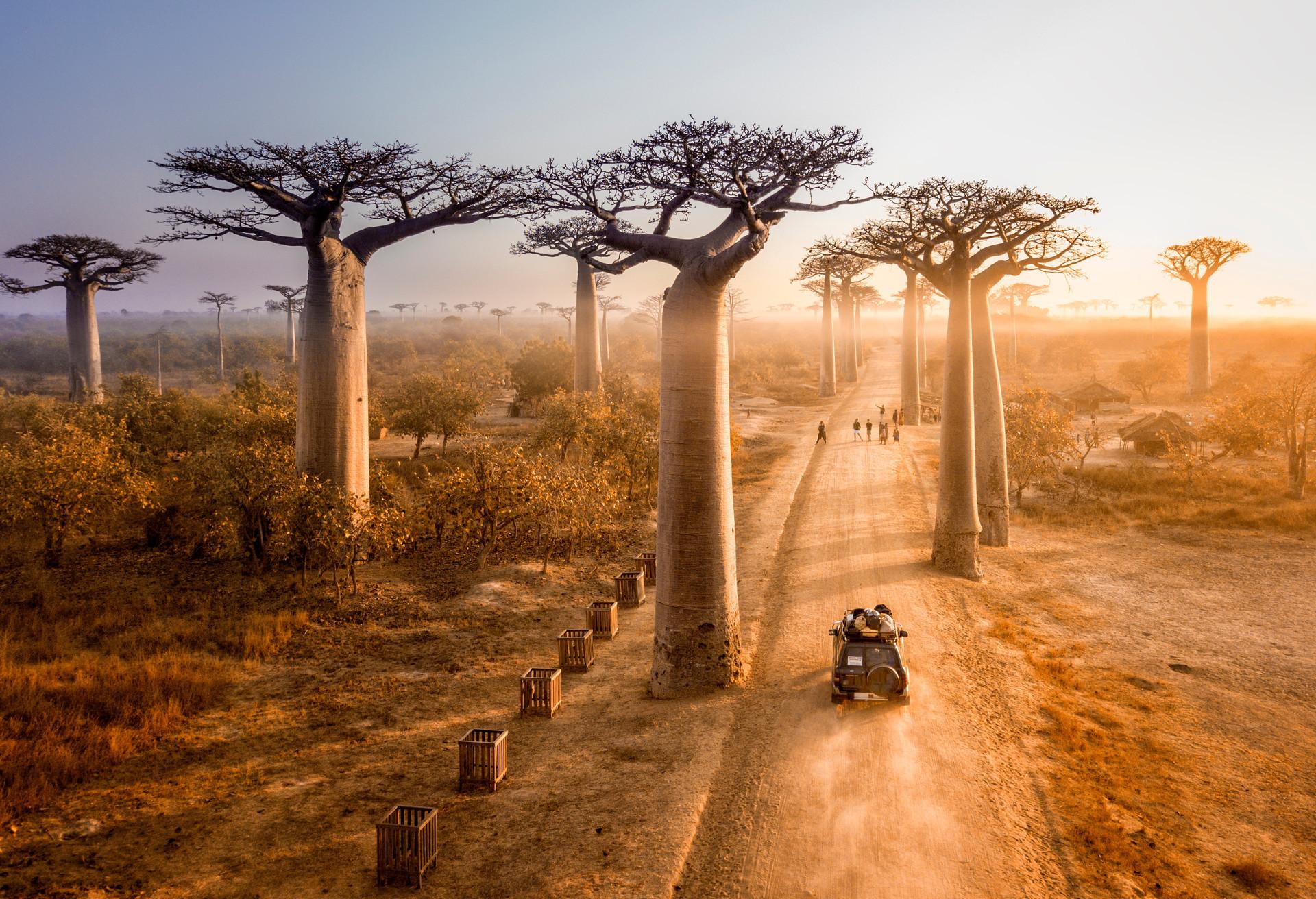 Enlacez un baobab sur l'Avenue des Baobabs à Morondava